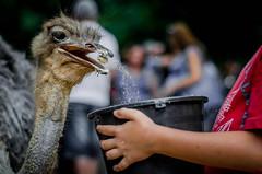 Sightings of a learning (Rochaff87) Tags: boy corn eating avestruz care ostriche milho alimentando cuidado comendo alimentao struthionidae bird20iocreplaceoldbirdlist