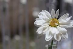Temps de flors (mireiarovira05) Tags: espaa spain flor catalonia girona blanca catalunya catalua gerona espanya florblanca