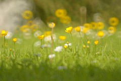 Buttercups (Tony Tooth) Tags: flowers abstract yellow mirror reflex blurry nikon buttercup bokeh softfocus churchyard wildflowers 500mm tamron impression oxfordshire sandford catadioptric sandfordstmartin d7100