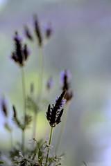 Lavender (joka2000) Tags: lavender
