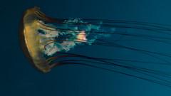 // tell me how you feel inside (pnwbot) Tags: blue light japan aquarium jellyfish osaka vsco kiayukan