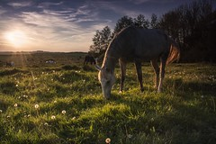 Perfect day (frantiekl) Tags: light sky horses sun green nature colors beauty field sunshine animals landscape happy freedom spring may meadow pasture harmony czechrepublic flowering serene herd bohemia colorsofnature krajina proda whitehorses starokladrubskhorses