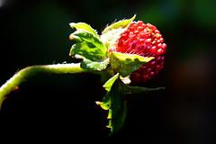 Breakfast Berry (Goromo) Tags: light macro fruit morninglight berry