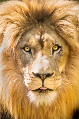 Straight-On Lion 3-0 F LR 5-22-16 J477 (sunspotimages) Tags: animals lion bigcats zoos zoosofnorthamerica