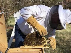 March Top Bar Hive Check (OakleyOriginals) Tags: bees brood honeybees topbar hivecheck
