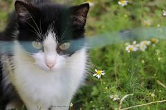 wary kitten (xiaolifra) Tags: kitten gatina gattinocat gatto prato fiorellini animale pratofiorito dietroilcancellobehindthegate