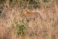 Leopard try to hide his meal (knipslog.de) Tags: africa southafrica wildlife urlaub safari leopard impala sdafrika krugernationalpark bigfive big5 suedafrika krgernationalpark