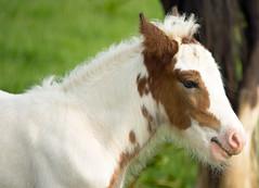 Foal (Skidmarks_1) Tags: england horses kent foal eastfarleigh