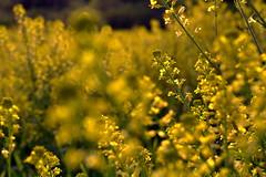 let the love in (joy.jordan) Tags: flowers blur field yellow bokeh hbw