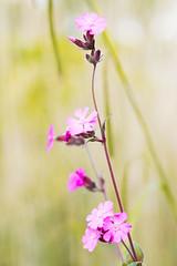 Standing tall (Gregushko) Tags: flowers green nature grass purple tall