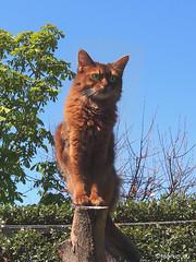 More Caithlin and blue sky (Finn Frode (DK)) Tags: pet cats animal cat garden denmark spring outdoor watch bluesky olympus stump som somali somalicat caithlin omdem5 dusharacathalcaithlin