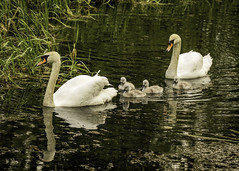Swans and Cygnets Pocklington Canal DC (davidcarlin691) Tags: reflections swans cygnets pocklington pocklingtoncanal canalbirds canon7dii canon70200mmwithx2converter woldsphotographicsociety