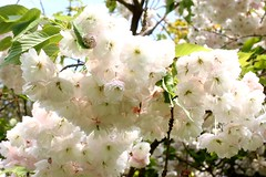 Peachy white Cherry blossom (tiger289 (The d'Arcy dog supporters club)) Tags: flowers trees plants fish plant flower tree bird nature grass birds animal garden restaurant leaf petals spring pond squirrels branch perfume westsussex blossom outdoor wildlife bees lawn insects foliage bark carp redwoods rabbits ww1 pollen magpie deciduous ponds allotment shrubs naturalworld hardwood cherrytrees lawns fruittree manorhouse saplings chalkpit beechtrees flowerbeds digforvictory highdown redbark avenueoftrees judastree highdowngardens iteaceae iteailicifolia floralwalk acidbeds highdownmanor foodproductionathome hollyleavedsweetspire