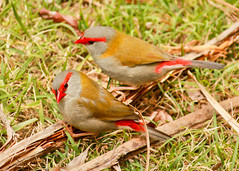 red.eyebrow finches (5 of 5) (Daniela Parra F.) Tags: aves birds finches red redeyebrowfinch birdsofaustralia aussiewildlife australia queensland qld aquaticbirds australianwildlife australianbirds
