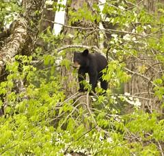 Bear Cub in a Tree (Jay Perry) Tags: bear travel blackbear cadescove smokeymountains greatsmokymountainsnationalpark gsmnp smokymountainsnationalpark smokymtns blackbearcub