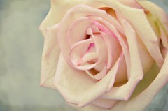 Serenity (Arnzazu Vel) Tags: naturaleza flower nature rose flor rosa serenity fiore