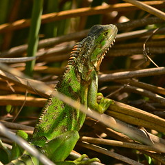 Green Iguana (nebulous 1) Tags: green nature animal fauna nikon florida lizard iguana keywest greeniguana nebulous1