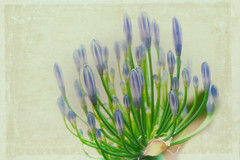 Agapanthus (C-Smooth) Tags: flowers macro nature beauty agapanthus
