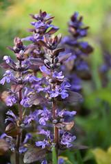 DSC_6867.jpg (littlestschnauzer) Tags: uk flowers blue macro nature garden spring yorkshire small columns may tall 2016