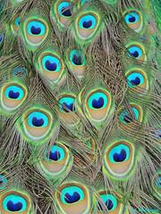 Nature's art EXPLORED! (Shahrazad26) Tags: holland nederland thenetherlands peacock paysbas rijswijk kinderboerderij zuidholland paon pfau pauw hetakkertje