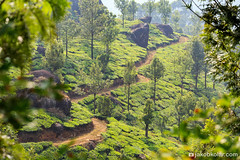 Tea Path (Jakob Kolar) Tags: travel india green nature landscape asia tea outdoor plantation indien teaplantation munar scenicview