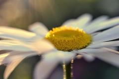 thrive (joy.jordan) Tags: daisy flower texture light sunset bokeh summer