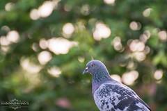 A bokehlicious Pigeon!!!