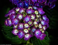 Lakewold Hydrangea (mjardeen) Tags: plant flower macro texture garden washington pattern g sony wa hydrangea tacoma 90mm oss 28 lakewold on1effects sony90mm28