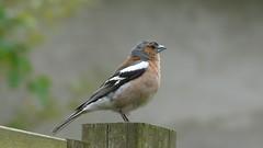 Pinson (Lau (Fripy) Trs peu l...) Tags: pinson bird coth alittlebeauty