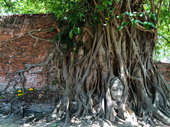Head of Buddha statue between the tree roots (Evgeny Ermakov) Tags: park travel vacation tree brick heritage tourism nature face statue wall asian thailand religious temple ancient rainforest ruins asia southeastasia image outdoor head antique buddha buddhist traditional religion ruin roots culture buddhism landmark scene holy exotic jungle tropical destination tropic growing southeast wat th touristic ayutthaya buddhistic phranakhonsiayutthaya changwatphranakhonsiayutthaya changwatphranakhonsiayuttha