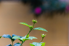 Go for the moon!! (Kumaravel) Tags: india green nature flora nikon dof bokeh jasmine tiny delicate chennai kumar kumaravel hbw d3100  malligaipoo