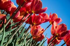 DSC_3712 (Copy) (pandjt) Tags: ca flowers canada bc britishcolumbia tulip abbotsford tulipfestival abbotsfordtulipfestival