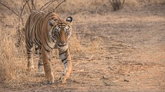 Royal Bengal Tiger on the Prowl (Raymond J Barlow) Tags: travel india animal wildlife tiger adventure phototours raymondbarlow