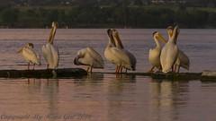 Preening Pelicans (My Kona Girl) Tags: colorado preening pelican americanwhitepelican cherrycreekstatepark coloradowildlife canonef14xiii canon1dx canon100400f4556lisiiusm