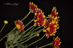 Red With Yellow Edges Group 1125 Copyrighted (Tjerger) Tags: red portrait plant black flower macro green fall nature yellow closeup blackbackground wisconsin petals stem flora group mums bunch bloom