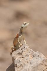 female Sinai agama (Agama sinaita)   (RonW's Nature Photography) Tags: macro nature canon israel desert reptile 100mm lizard reptiles herpetology agama   sinaita agamasinaita