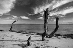 Dead Trees (tim_poole) Tags: park white black tampa mexico island nikon honeymoon gulf state florida tokina bnw clearwater duniden d7100 1120mm