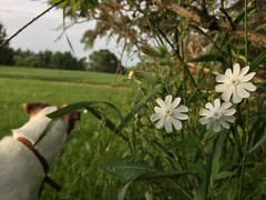 A Morning Excursion (marylea) Tags: morning dog flower fun jrt walk explorer humor seamus story terrier jackrussell jackrussellterrier excursion iphone campion 2015 jun17 parsonrussell parsonrussellterrier wildcampion