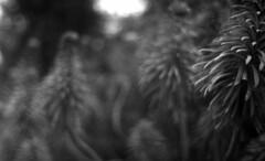 Plant Matter (4foot2) Tags: zorki blackandwhite bw plants plant blur film coffee monochrome 35mm mono brighton experimental dof grain fsu rangefinder outoffocus ilfordhp5 35mmfilm hp5 jupiter12 analogue prestonpark filmgrain expiredfilm russiancamera 2016 filmphotography oldfilm zorki1 caffenol outofdatefilm leicacopy russianlens formersovietunion  washingsoda vitc 120asa 12 1 caffenolcm 4foot2 4foot2flickr 4foot2photostream fourfoottwo