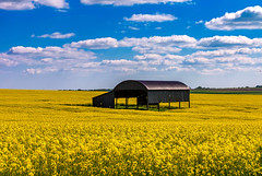 Black barn in a yellow field (Anthony White) Tags: uk flowers blue yellow spring bluesky nopeople rapeseed oilseedrape eastdorset