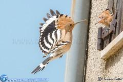Upupa - Hoopoe - Sibillini (www.camosciosibillini.it) Tags: hoopoe sibillini upupa