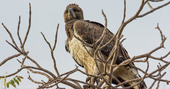 (Polemaetus bellicosus)  guila marcial, Martial Eagle. (Francesc Farran) Tags: verde ornitologia ocells rapaces pajaros africa sudafrica kruger