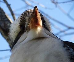 Laughing Kookaburra (Twistiekins) Tags: bird laughing native australian kookaburra dacelo novaeguineae