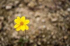La flor solitaria (Daniel Fotografia :)) Tags: light naturaleza flower nature yellow flor per sierra amarillo exit airelibre floramarilla lalibertad otuzco sanchique