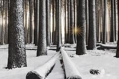 Fallen (Jay Daley) Tags: snow sunrise nikon australia nsw d810 sugarpineforest