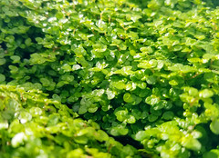 Baby Tears, Green Vegetation (shaire productions) Tags: nature picture photo photograph outdoors floral flowers petal plants natural green leaves image leaf greenery babytears shrub shrubbery