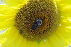 Sunflower (bamboosage) Tags: m42 28 60 preset mamiyamacrosekor