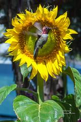 SunBird (Darvin Atkeson) Tags: california anna usa flower spring glow hummingbird beak feather seed bloom flowering iridescence basslake blooming darvin califonria atkeson darv lynneal yosemitelandscapescom