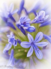 blue light (frederic.gombert) Tags: flowers blue light sky sun sunlight plant flower macro green field garden greatphotographers macrdreams