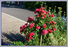20160627-00002a (r_walther) Tags: schweiz blumen che rosen garten blhen kantonsolothurn winznau